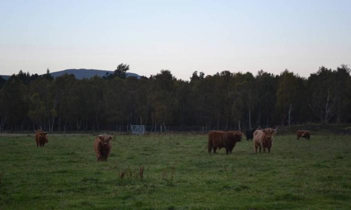Gado escocês no safári fotográfico pelos campos, lagos e montanhas das High Lands Especial para O Globo / Mari Campos