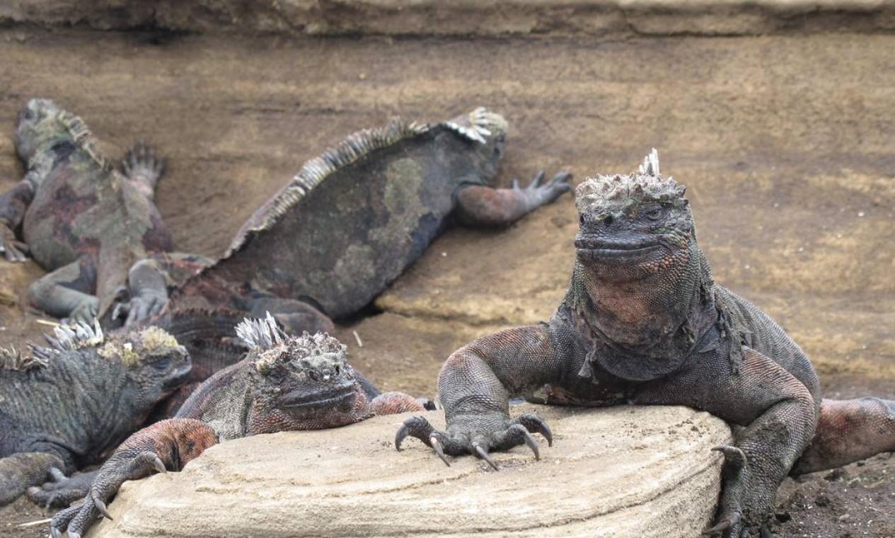 Porto Egas também é ótimo lugar para observar as estranhas iguanas marinhas Foto: Eduardo Maia / O Globo