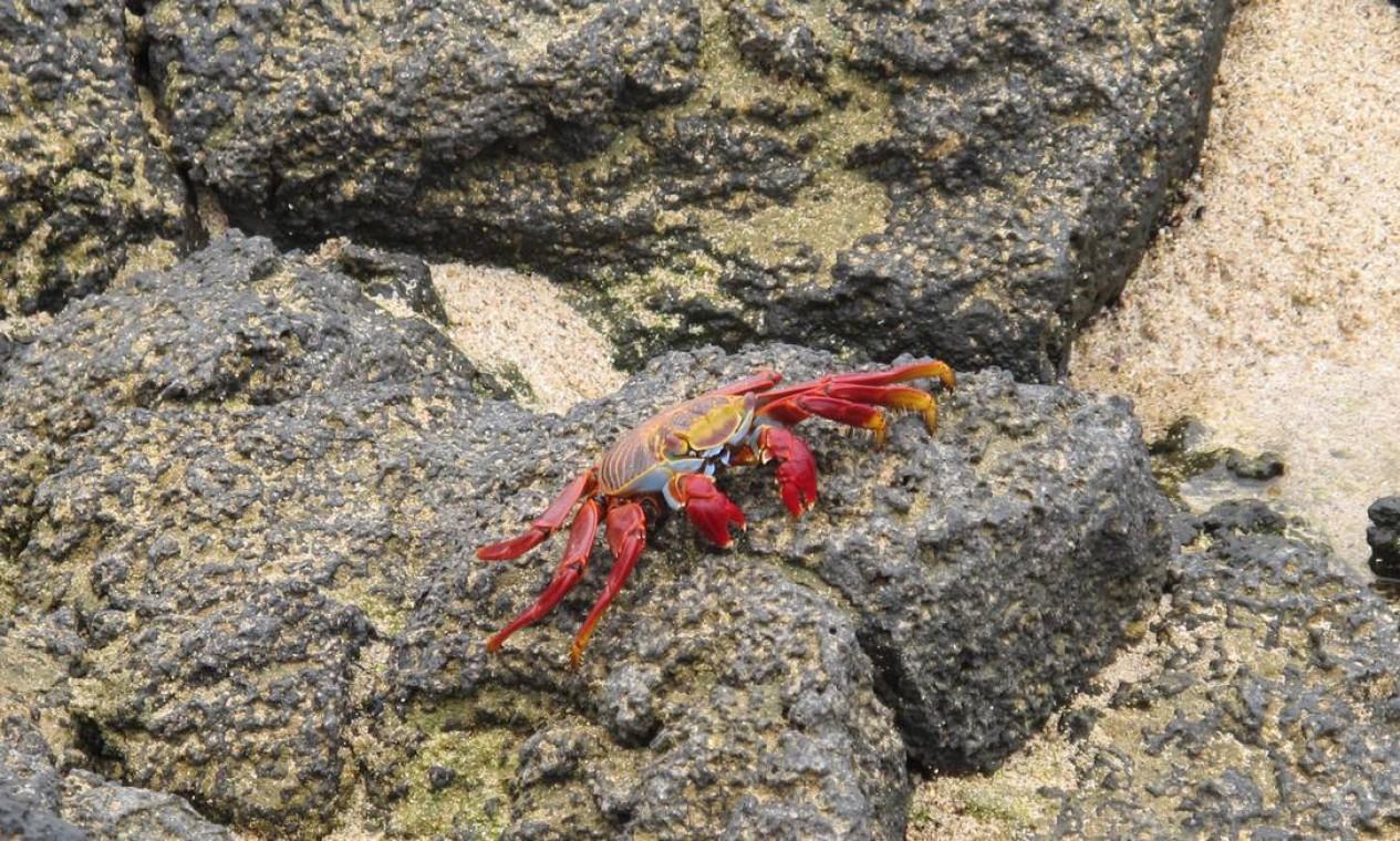O chamativo caranguejo-fidalgo vive em simbiose com as iguanas marinhas Foto: Eduardo Maia / O Globo