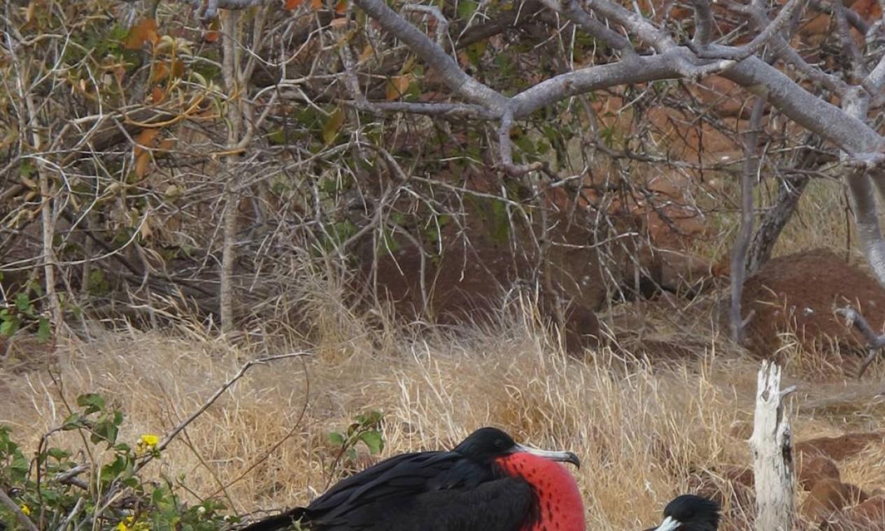 A ilha também é usada pelas fragatas: para seduzir a fêmea, o macho infla seu papo vermelho Foto: Eduardo Maia / O Globo