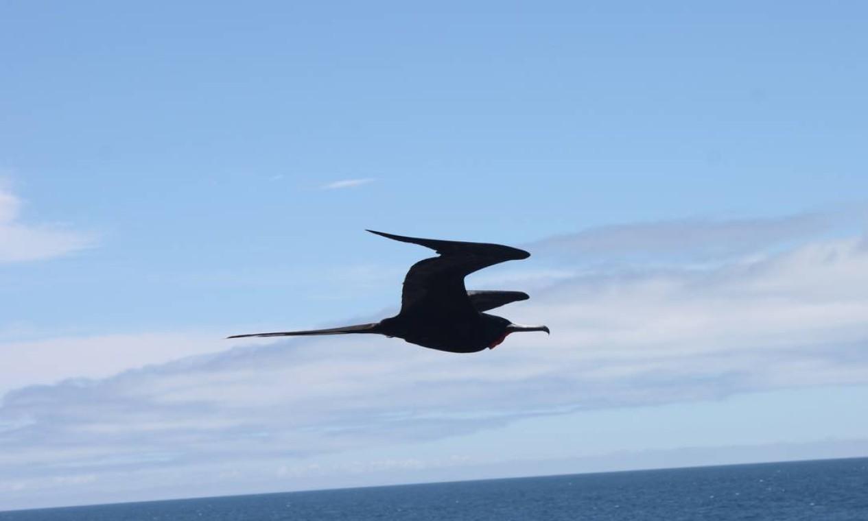 """As belas fragatas são conhecidas como """"piratas do mar"""", por roubar o que outras aves, sobretudos os atobás, pescam Foto: Eduardo Maia / O Globo"""