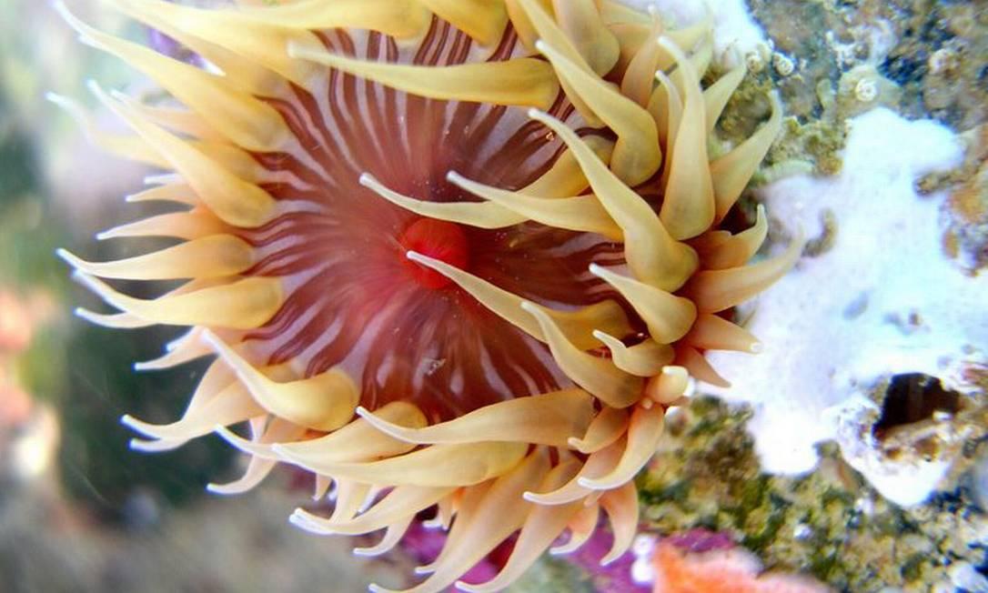 Anêmona do mar na Praia das Conchas, Cabo Frio Vinicius Padula / Divulgação