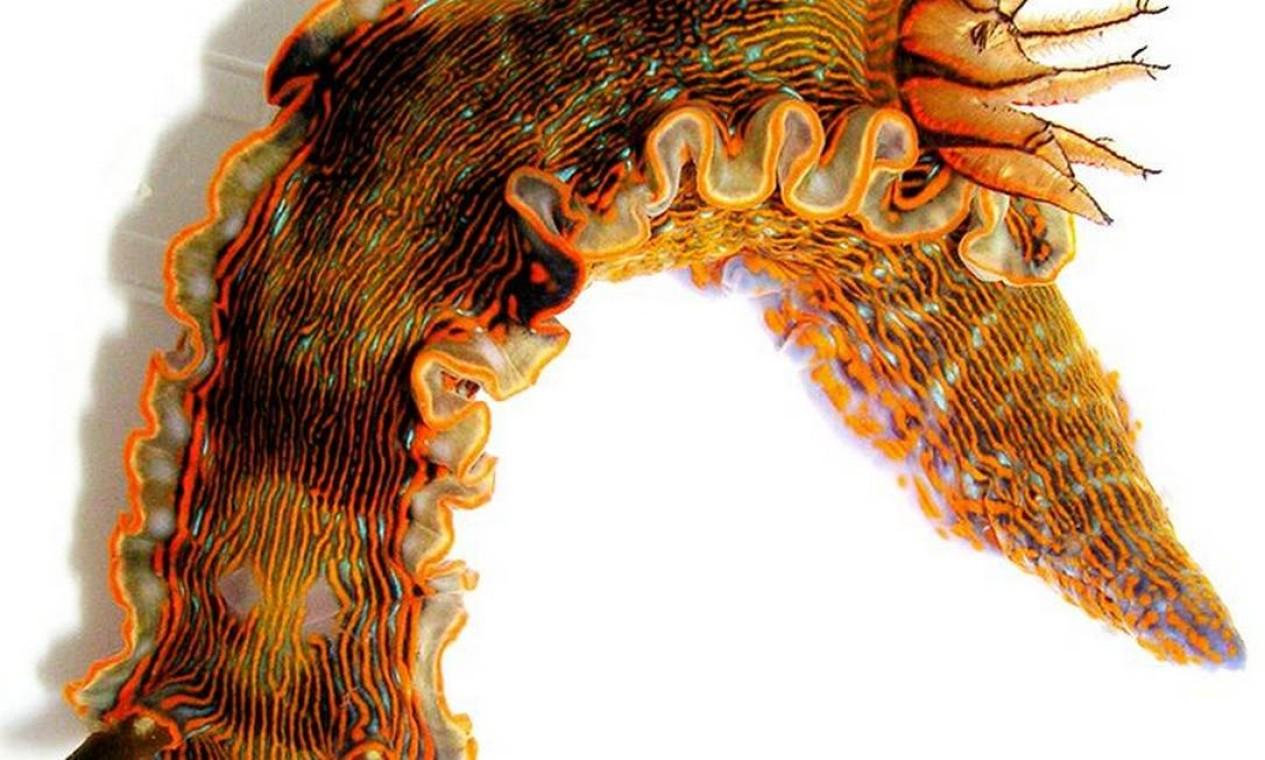O raro nudibrânquio Felimare juliae, descoberto na Praia das Conchas, nunca havia sido visto anteriormente. Com 5,7cm, foi descrito em 2010 Foto: Vinicius Padula / Divulgação