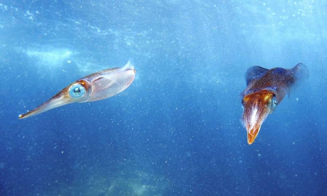 Lulas nadando na Ilha do Papagaio, em Cabo Frio Vinicius Padula / Divulgação