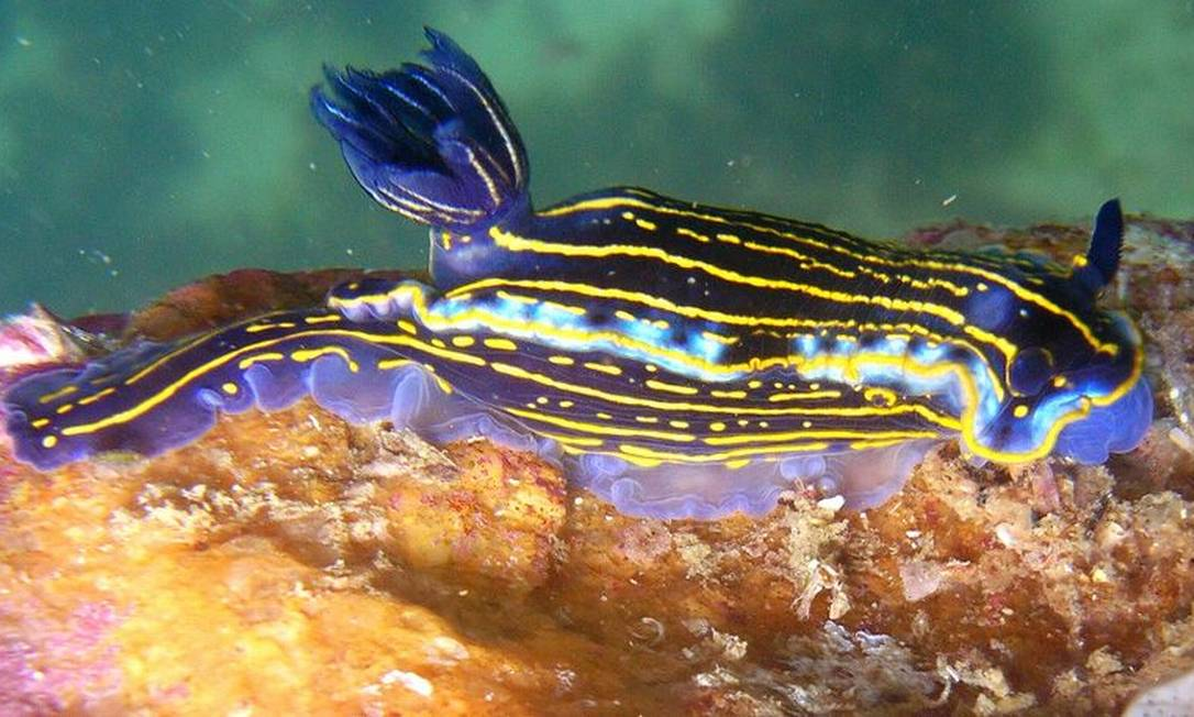 O nudibrânquio Felimare lajensis mede 4cm Foto: Vinicius Padula / Divulgação