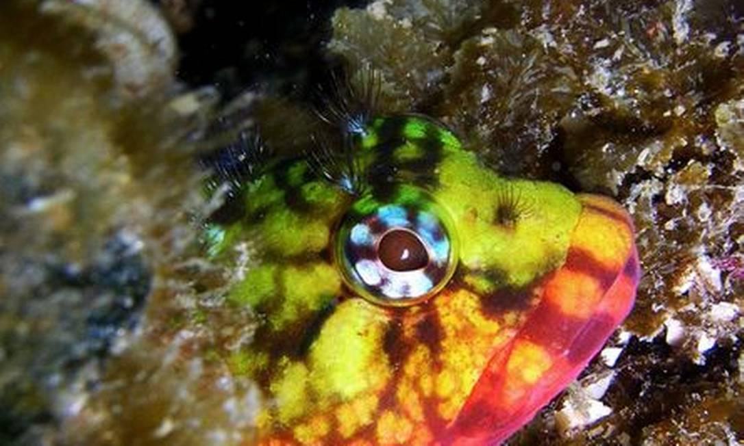 O colorido peixe Maria-da-Toca é uma das muitas formas de beleza marinha encontrada na Praia das Conchas, em Cabo Frio Foto: Vinicius Padula / Divulgação