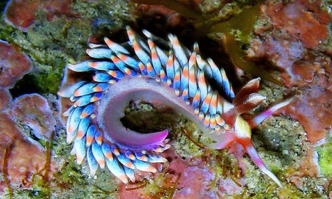 O budibrânquio Babakina anadoni é um pequeno tesouro de apenas 1cm. Antes conhecido apenas em Espanha e Portugal, foi encontrado na Praia das Conchas ao longo das pesquisas Foto: Vinicius Padula / Divulgação
