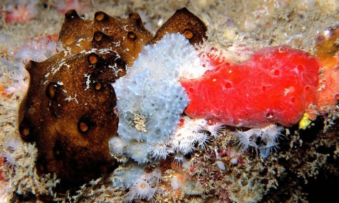 Diferentes tipos de esponjas na Ilha do Papagaio, Cabo Frio. A grande diversidade de esponjas é um indicativo da boa saúde de um ambiente marinho. Muitas formas fotografadas nos últimos anos são desconhecidas por especialistas Vinicius Padula / Divulgação