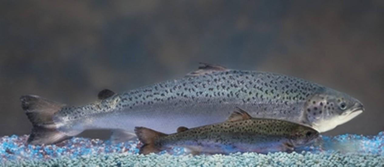 O tamanho maior do salmão geneticamente modificado em comparação com um não-transgênico da mesma idade Foto: Reprodução/ Acquabounty