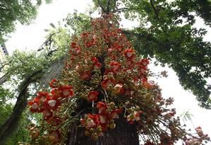 Os abricós-de-macaco estão em plena floração e colorem praças e os poucos locais onde ainda estão plantadas Foto: Pablo Jacob / O Globo