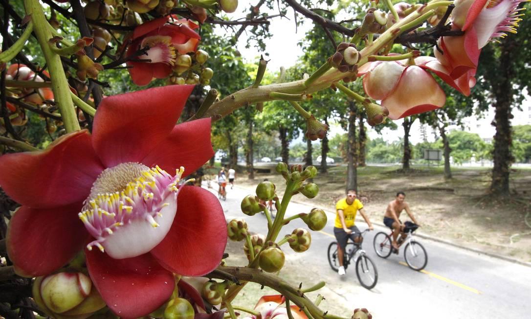 Abricós-de-macaco do Parque do Flamengo florescem Foto: Pablo Jacob / O Globo