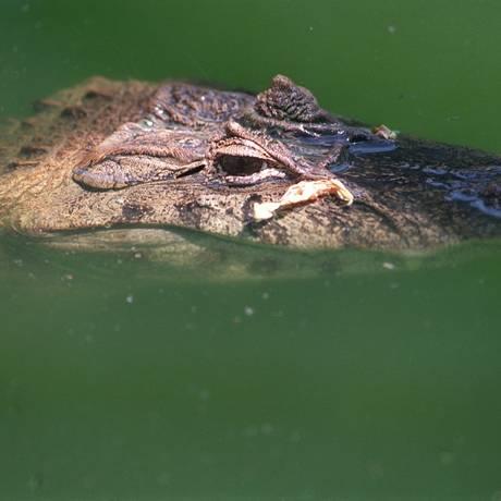 O réptil em um alagadiço. Cerca de 15 mil crocodilos fugiram de uma fazenda na África do Sul Foto: Agência O GLOBO