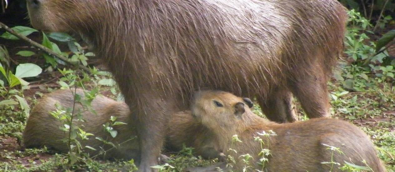 CAÇA ILEGAL. Capivara ferida ao lado de dois filhotes, na Barra da Tijuca Foto: Promotoria do meio ambiente