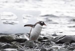 Um pinguim, ave que se tornou ícone da Antártica, caminha próximo à Baía do Almirantado, em frente à base brasileira Foto: Daniela Dacorso