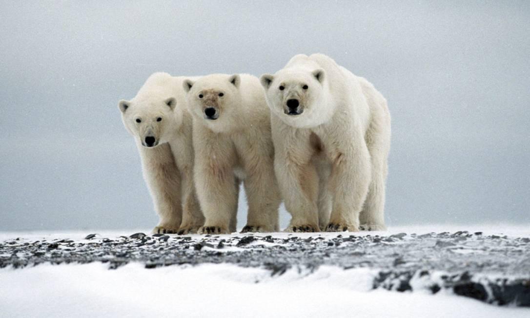 Ursos polares. Populações nativas dependem da caça Foto: REUTERS