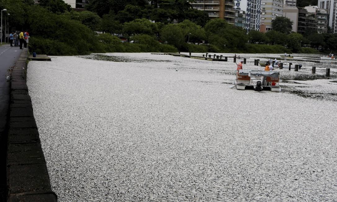 A Lagoa Rodrigo de Freitas amanhece coberta de peixes mortos Foto: Hudson Pontes / Agência O Globo