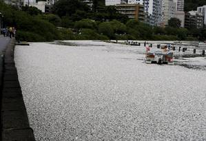 Pelo terceiro dia seguido, a Lagoa Rodrigo de Freitas, na Zona Sul, amanheceu coberta de peixes mortos Foto: Hudson Pontes / Agência O Globo