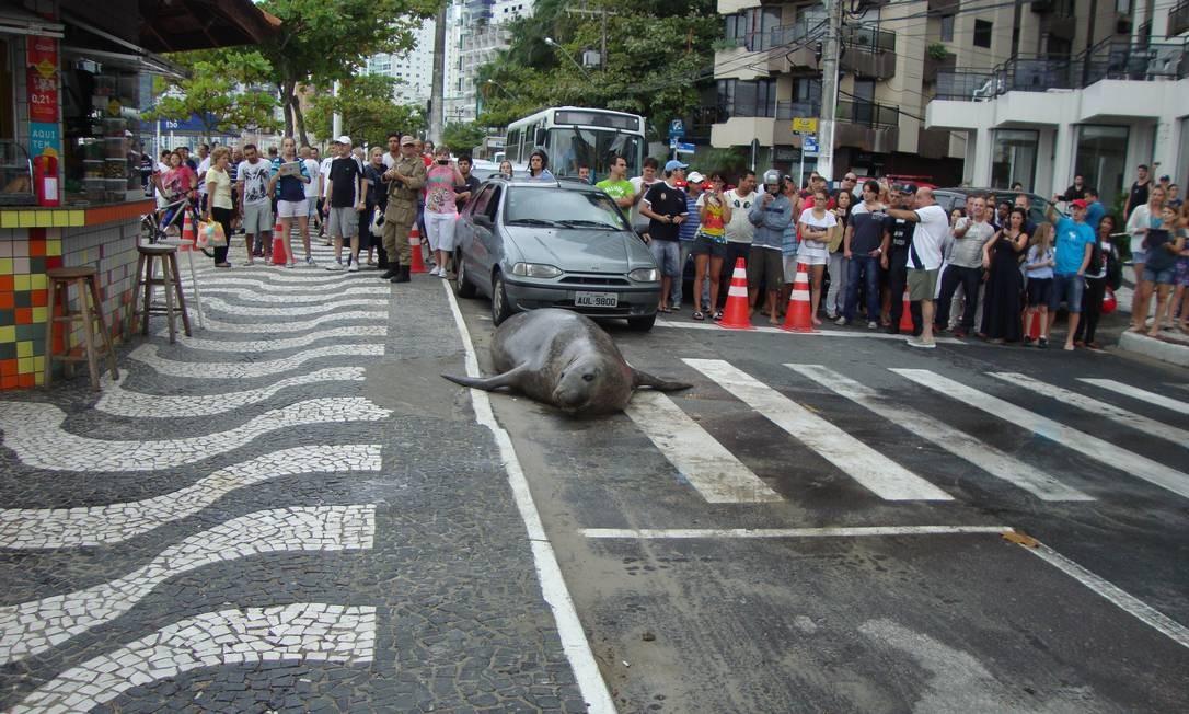 Leão marinho sai do mar e vira atração em Balneário Camboriú Foto: Guarda Municipal / Divulgação