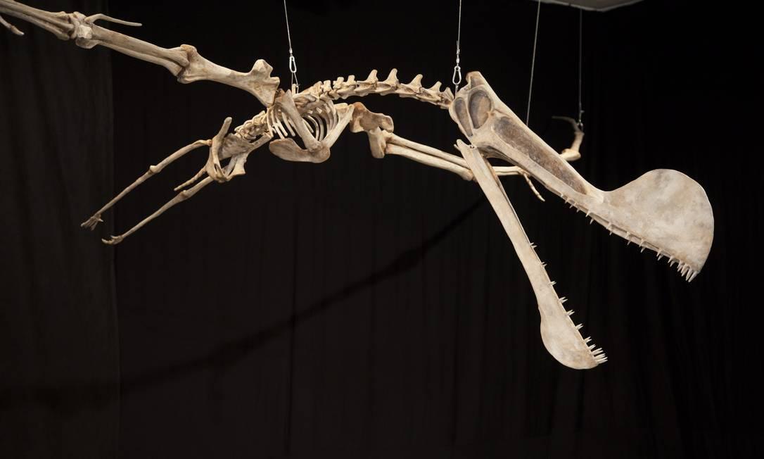 Tropeognathus cf. mesembrinus no Museu Nacional da UFRJ, o mais importante réptil encontrado no Brasil, na Chapada do Araripe Foto: Ana Branco / Agência O Globo