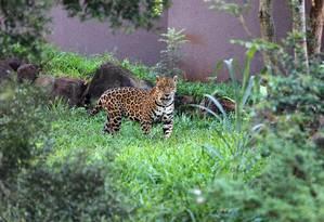 Onça pintada vive num refúgio para fauna do Sul Foto: Carlos Ivan / Carlos Ivan