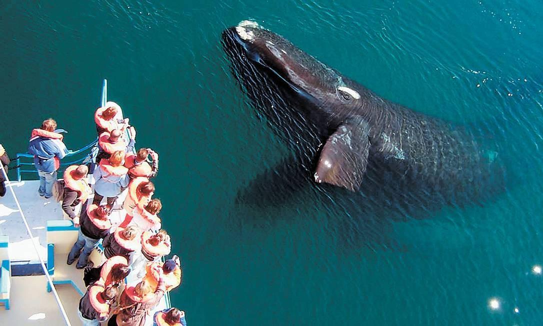 Observação de baleias em passeio de barco Foto: Divulgação
