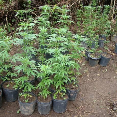 Planta de maconha: estudo conclui que cigarro é porta de entrada para uso da droga entre jovens Foto: Terceiro / Agência O Globo