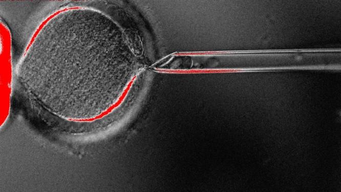 Clone de embrião obtido no estudo Foto: Divulgação
