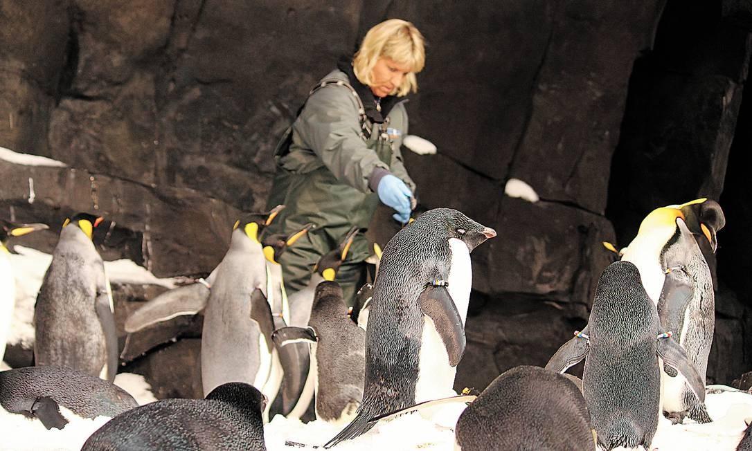 Na Antártica do SeaWorld há 250 pinguins de cinco espécies diferentes Foto: Fernanda Dutra / O Globo