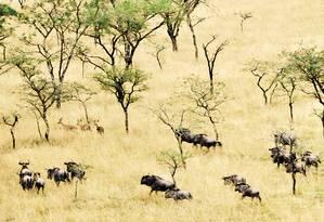 Espécies de gnu e pequenos antílopes correndo na savana africana Foto: Flávia Milhorance / O Globo