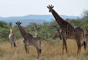 Girafas estão entre os animais que se avistam na região de Drakensberg, tanto durante safáris quanto da estrada Foto: Flávia Milhorance / O Globo
