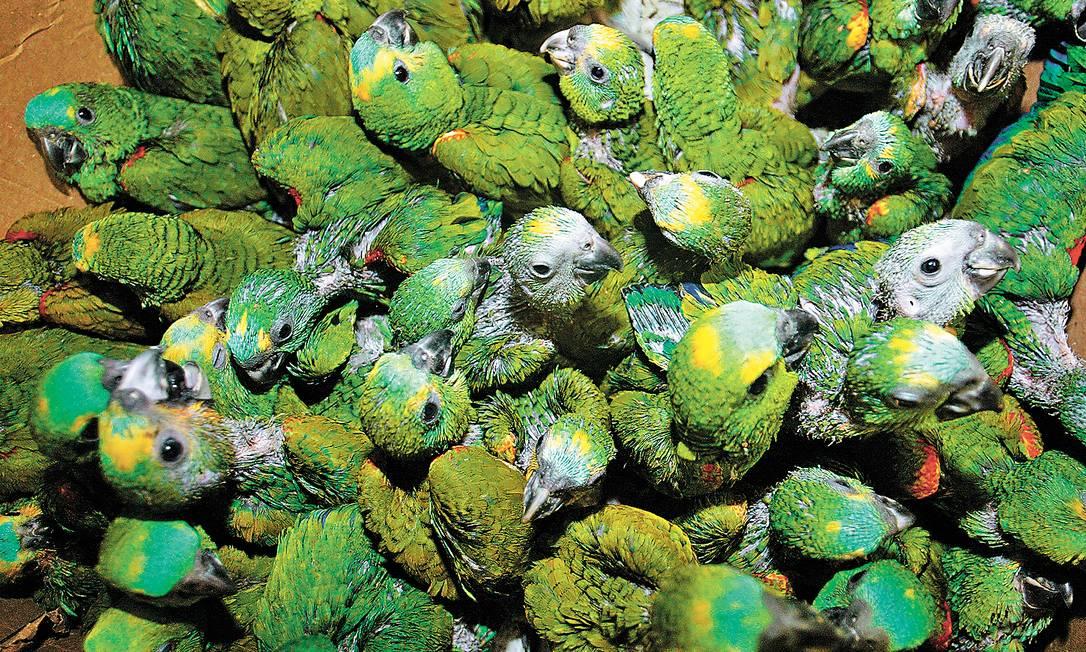 Via Dutra: Rodovia federal é um dos caminhos para o tráfico de animais apreendidos no Norte do país, como os papagaios acima, para Rio e São Paulo. Foto: Fabiano Rocha/9-10-2008