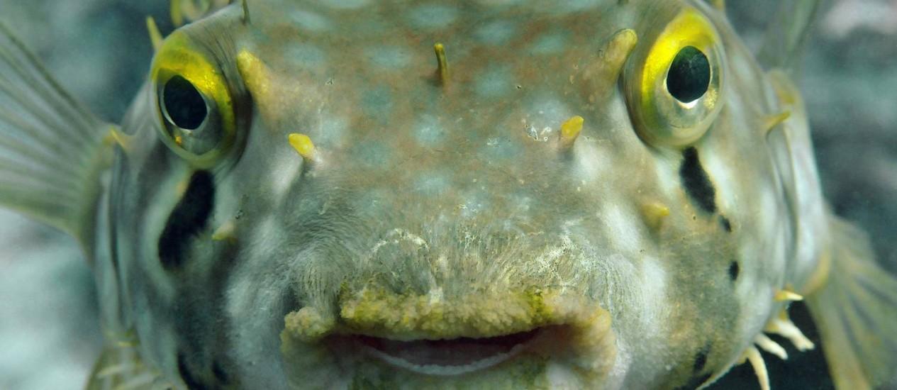 Baiacus tem dentições que se substituem permanentemente Foto: Ricardo Azoury / Agência O Globo