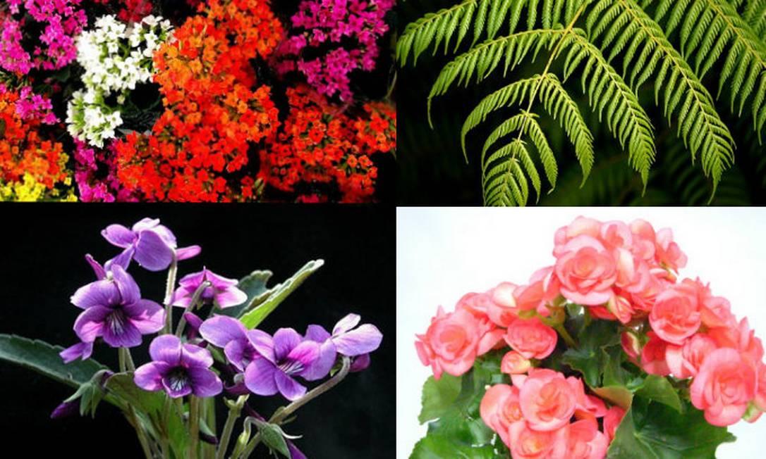 No sentido horário: Kalanchoe, Samambaia, Begônias e Violetas para enfeitar a casa Foto: Reprodução da internet