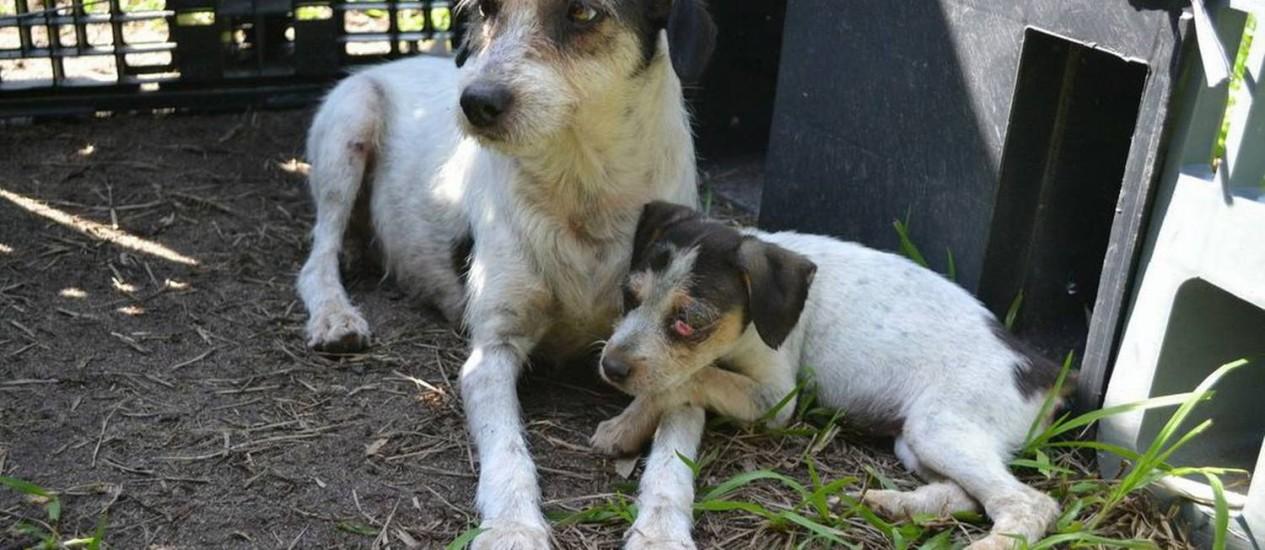 A cadela Lurdinha, com uma de suas três filhotes, no dia em que foi levada do canil da Fazenda Modelo para lar temporário no sítio da ONG Foto: Divulgação / O Globo
