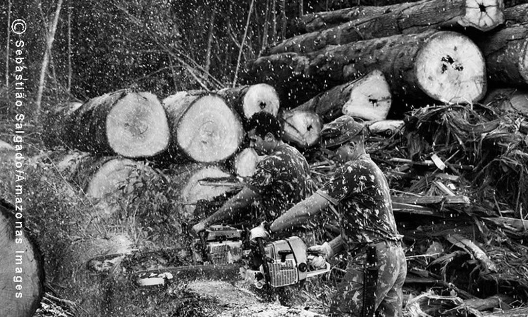 Após a derrubada ilegal das árvores, os madeireiros as camuflam na própria floresta, onde as tratam para já levá-las à serraria Foto: Sebastião Salgado
