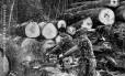 Após a derrubada ilegal das árvores, os madeireiros as camuflam na própria floresta, onde as tratam para já levá-las à serraria