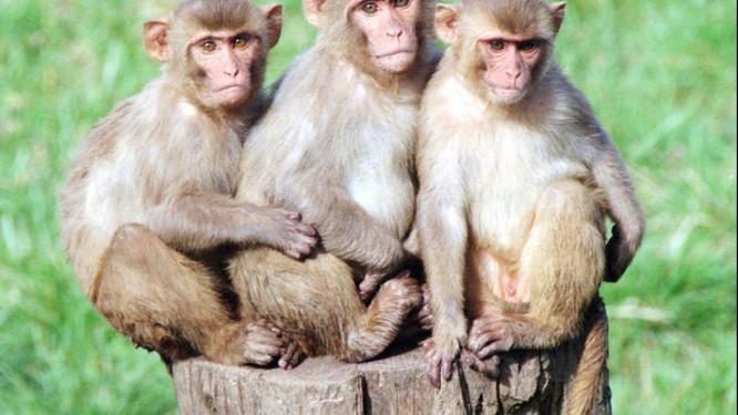Macacos reshus, espécie que é alvo de experiências sobre esquizofrenia Foto: Don ryan / AP Photo