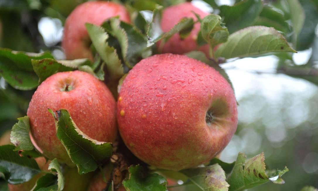 Maçãs, as mais ricas em antioxidantes, inclusive no Cerrado brasileiro. Foto: Latinstock