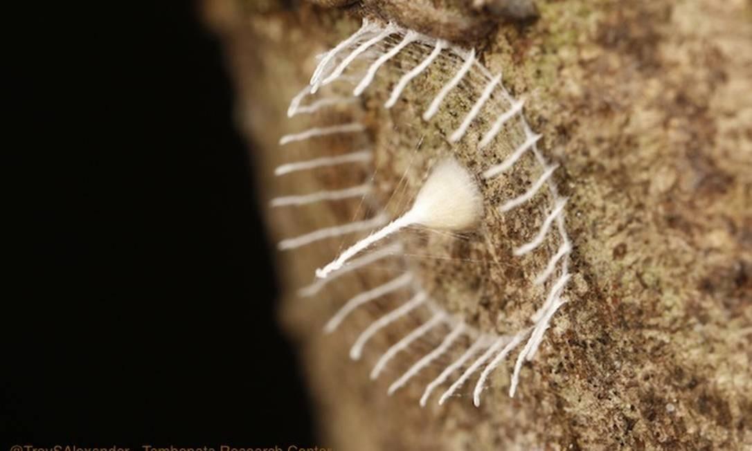 Com dois centímetros de diâmetro, a espécie de teia intriga cientistas Foto: Tambopata Research Center / Troy Alexander
