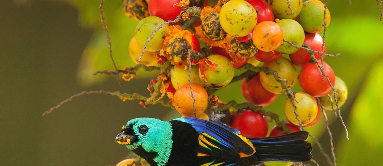 Pintor-verdadeiro. Ave nativa da Mata Atlântica pode ser vista no Jardim Botânico Foto: Terceiro / Gustavo Pedro/Divulgação