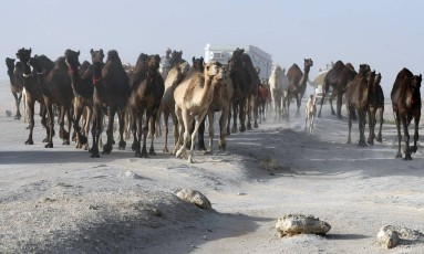 Rebanho de camelos em área deserta do Qatar na fronteira com Arábia Saudita Foto: Karim Jaafar / AFP