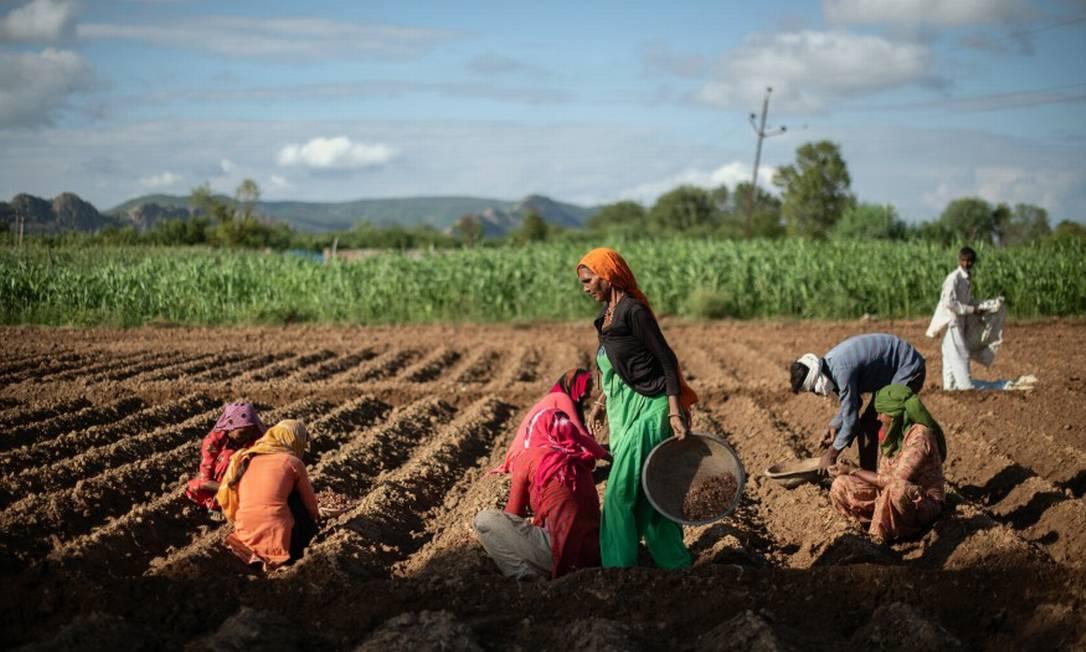 Trabalhadores agrícolas plantam cebolas no vilarejo de Sahori em Rajasthan, Índia, em 31 de agosto de 2020 Foto: REBECCA CONWAY / NYT