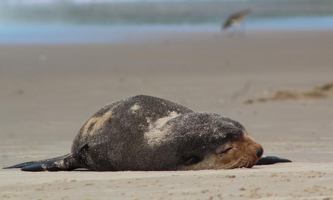 Lobo-marinho visitou praia de Matinhos, no Paraná Foto: Matinhos agora / Facebook