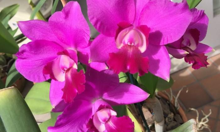 Orquídea Gisele Bündchen Foto: Divulgação