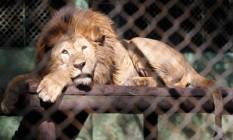 Em 2011, os animais começaram a ser retirados do zoológico pelo Ibama, por conta de uma decisão judicial. Na foto, o leão Dengo, de 8 anos de idade, foi separado da namorada, Elza, que foi levada para Brasília Foto: Márcia Foletto / Agência O Globo