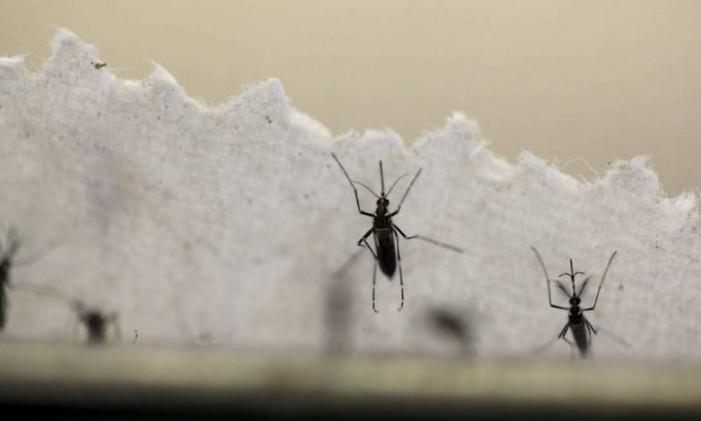 O mosquito Aedes Aegypti Foto: Reuters
