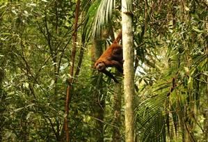 RG - bugios da tijuca Foto: Divulgação/Luísa Genes / Um dos macacos bugios introduzido na Floresta da Tijuca em 2015