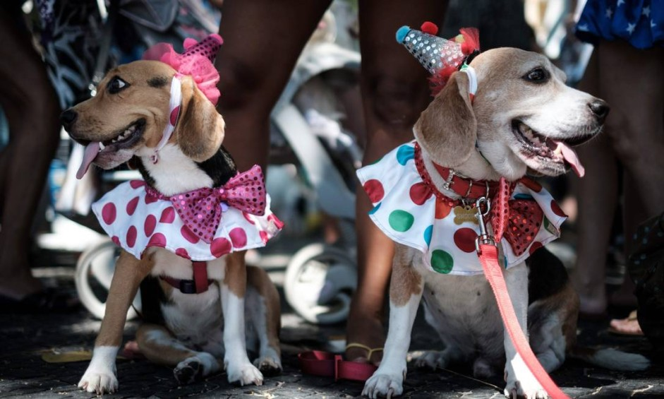 "Dogs dressed in costume are seen during the Rio Dog Carnival, known as the Blocao with ""bloco"" meaning street party and ""cao"" dog, during pre-carnival celebrations at Copacabana beach in Rio de Janeiro, Brazil, on February 19, 2017. / AFP PHOTO / Yasuyoshi CHIBA Foto: YASUYOSHI CHIBA / AFP"