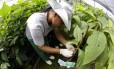 Mudas que seriam plantadas para formar o Bosque Olímpico esperam na estufa da Fazenda Biovert, em Silva Jardim, o momento da formação do bosque