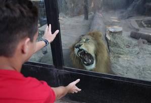 Logo depois de acordar de uma soneca, o leão Simba encosta no vidro e mostra que não gosta da cor vermelha. O felino é uma dos animais preferidos das crianças Foto: Custódio Coimbra / Agência O Globo